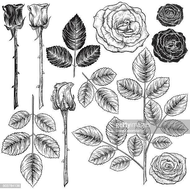 Botanische Rosen im Vintage-Stil Design-Elemente