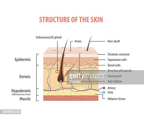 Vol.2 Structure of the skin info graphics illustration vector on white background. Beauty concept. : stock vector