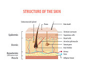 Vol.2 Structure of the skin info graphics illustration vector on white background. Beauty concept.