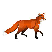 Walking red fox. Side view. Vector illustration isolated on white background