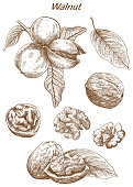 walnut set of vector sketches on an white background