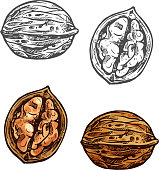 Walnut fruit sketch of whole nut and kernel. Opened nutshell of walnut with brown nut isolated icon for healthy vegetarian snack, superfood and confectionery ingredient design