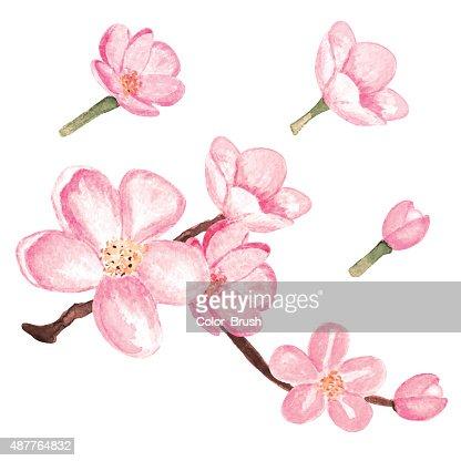 sakura blüte
