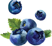 Delicious watercolor blueberries isolated on white background. Vector Illustration.