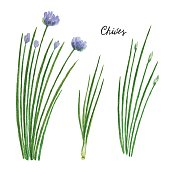 Watercolor branches and leaves of chives. Eco products isolated on white background. Watercolor vector illustration of culinary herbs and spices to your menu.