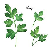 Watercolor branches and leaves of parsley. Eco products isolated on white background. Watercolor vector illustration of culinary herbs and spices to your menu.
