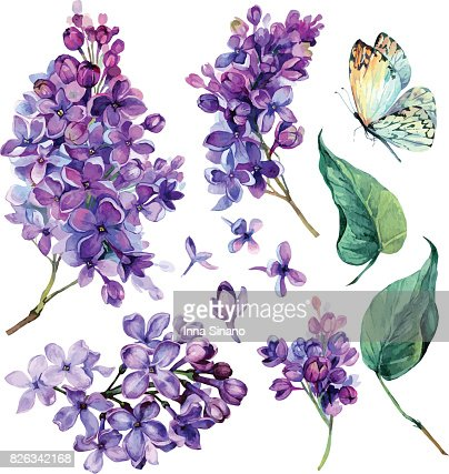 watercolor Collection of Purple Lilac. : Vector Art