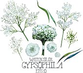 Watercolor gypsophila set: flowers, leaves, bouquet. Vector design element isolated on white background