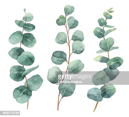 Watercolor hand painted vector set with eucalyptus leaves and branches. : Vector Art