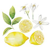 Watercolor lemon collection.  Fruit, leaves and flowers isolated on white background