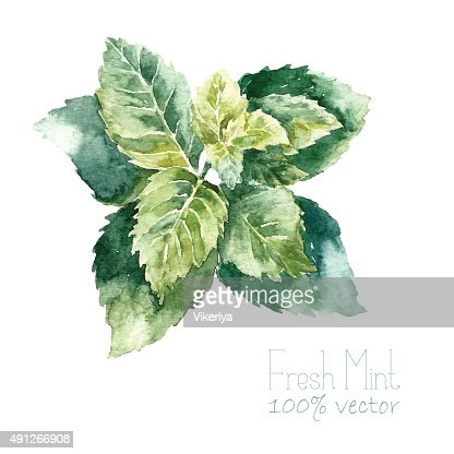 Watercolor mint. : Vector Art