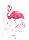Pink flamingo. Tropical exotic bird rose flamingo with watercolor splashes on white background. Watercolor hand drawn illustration. Print for wrapping, wallpaper, cards, textile. Vector