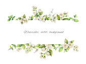 Watercolor vector banner of flowers Jasmine and mint branches isolated on white background. Floral illustration for design greeting cards, wedding invitations, natural cosmetics, packaging and tea.