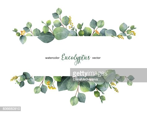 Watercolor vector green floral banner with silver dollar eucalyptus leaves and branches isolated on white background. : Vector Art