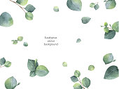Watercolor vector green floral banner with silver dollar eucalyptus leaves and branches isolated on white background. Healing Herbs for cards, wedding invitation, posters, save the date or greeting de