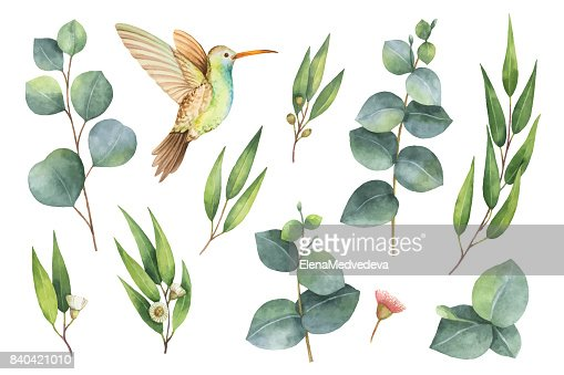 Watercolor vector hand painted set with eucalyptus leaves and Hummingbird. : Vector Art