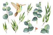 Watercolor vector hand painted set with eucalyptus leaves and Hummingbird. Floral illustration isolated on white background.