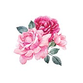 Beautiful vector composition with hand drawn watercolor roses on transparent background