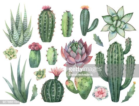 Watercolor vector set of cacti and succulent plants isolated on white background. : stock vector