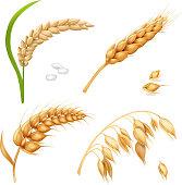 Wheat, barley, rice and oats. Ears vector realistic set
