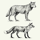 wild grey wolf and red fox engraved hand drawn in old sketch style, vintage animals.