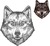 Wolf wild animal sketch vector icon. Wild gray or timber wolf muzzle symbol for wildlife fauna and zoology or hunting sport team trophy and nature zoo adventure club