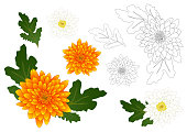 Yellow and White Chrysanthemum Flower Outline. Vector Illustration. isolated on White Background.