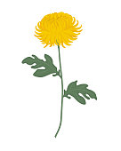 Yellow chrysanthemum with green leaves on a white background. Autumn flowers. Vector illustration