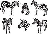 Zebras on a white background, vector Illustration