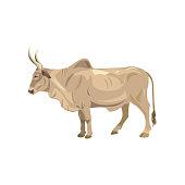 Zebu bull. Brahman cattle. Vector illustration isolated on the white background