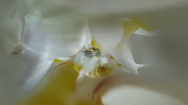 ORCHIDS - INFINITE CLOSE-UP  INSIDE THE BLOOM (seamless loopable)