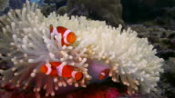 CLOSE UP ORANGE CLOWN FISH FAMILY IN WHITE ANENOME WITH CLEANING SHRIMP