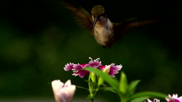 HUMMINGBIRD SUPER SLOW MOTION…480 FPS