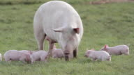 MOTHER SOW WITH PIGLETS PIGS