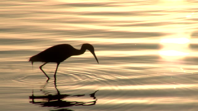 BIRD SEARCHING FOR FISH DURING SUNRISE
