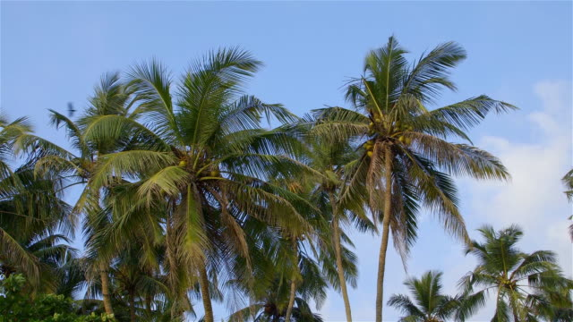 KING COCONUT PALM TREES