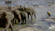 SWAYING ASIAN ELEPHANTS IN MAHA OYA RIVER