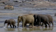 ASIAN ELEPHANTS SPLASH MAHA OYA RIVER