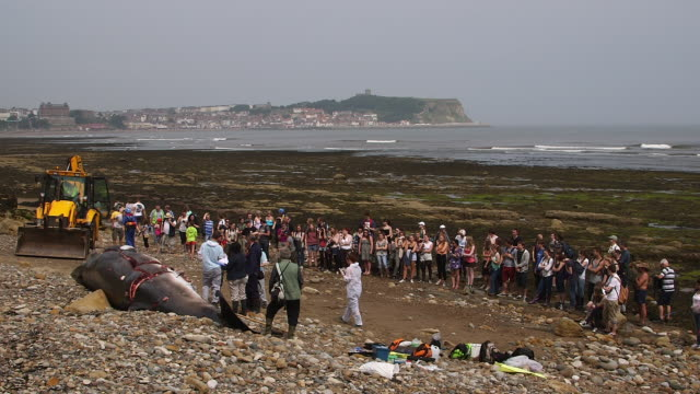 LARGE CROWN WATCH AUTOPSY BY THE ZOOLOGICAL SOCIETY OF LONDON ON A WASHED UP MINKE WHALE SOUTH BAY SCARBOROUGH MINKE WHALE SCARBOROUGH BEACH
