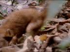 An anacoda catches a coatimondi in the Amazon rain forest
