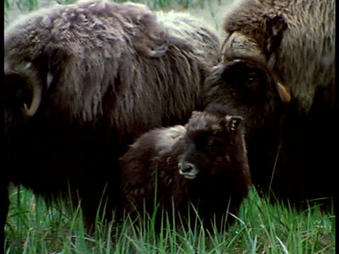 Two adult long haired Musk Oxen standing w/ baby FG TRACKING Running herd US Government Protected herd