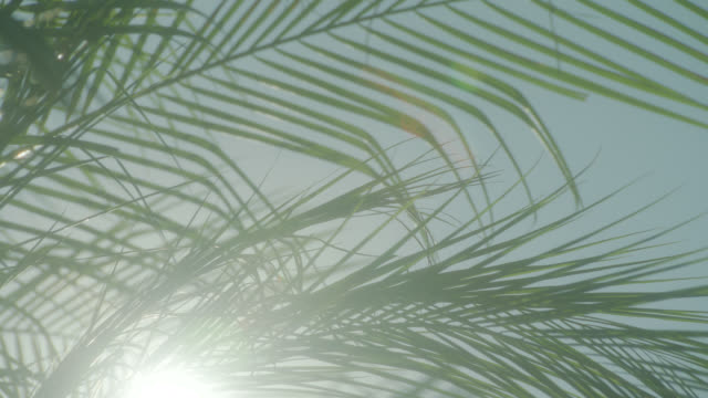 UP ANGLE OF SUN SHINING THROUGH PALM TREE FRONDS, LEAVES.