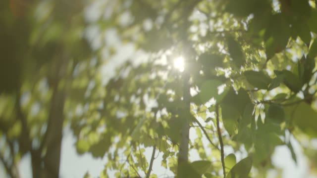 UP ANGLE OF SUN SHINING THROUGH LEAVES ON TREE.