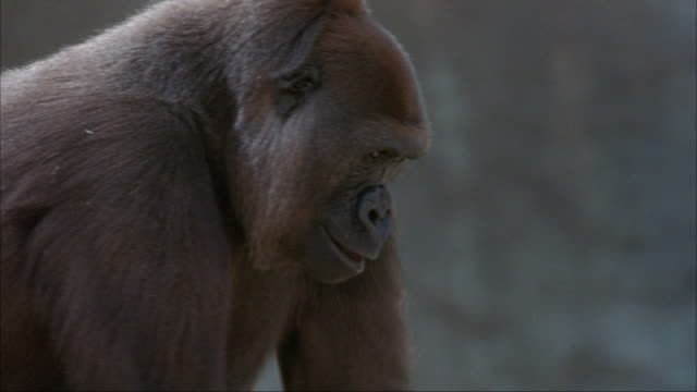 CLOSE ANGLE OF GORILLA WALKING ON ALL FOUR LIMBS. STOPS TO LOOK AT CAMERA AT END.