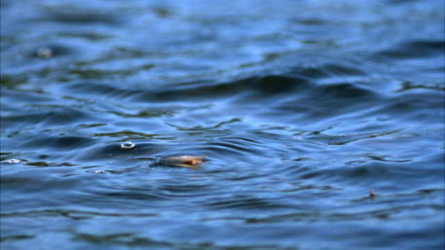 MEDIUM ANGLE OF LURE FLOATING ON SURFACE OF WATER. SEE INSECT FLUTTERING.