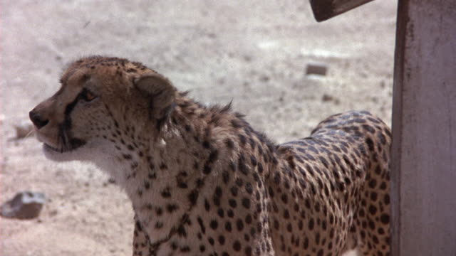 MEDIUM ANGLE OF CHEETAH STANDING ON SANDY GROUND. SEE IT LOOK UP AT THE CAMERA WITH ITS GLISTENING AMBER EYES. SEE WOODEN STICK PROD IT OCCASIONALLY. CHEETAH HAS COLLAR AND CHAIN.