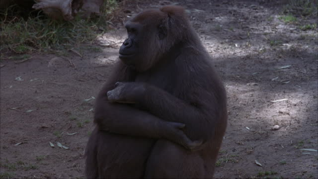 MEDIUM ANGLE OF GORILLA SITTING ON GROUND WITH ARMS CROSSED.