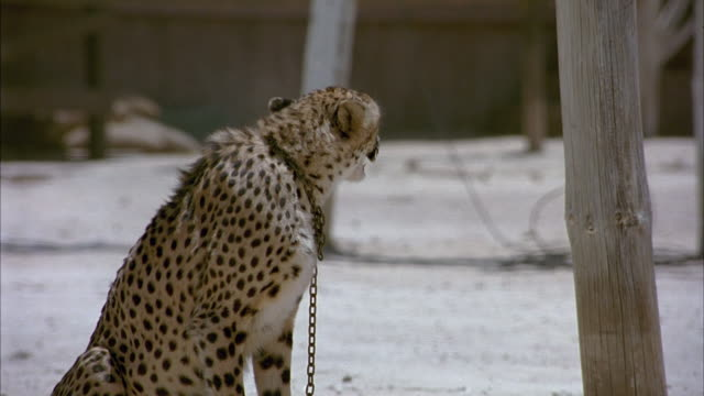 MEDIUM ANGLE OF CHEETAH CHAINED TO POLE. IT IS SITTING ON THE DUSTY GROUND. SEE CHEETAH RISE TO FEET AND WALK OUT OF FRAME.