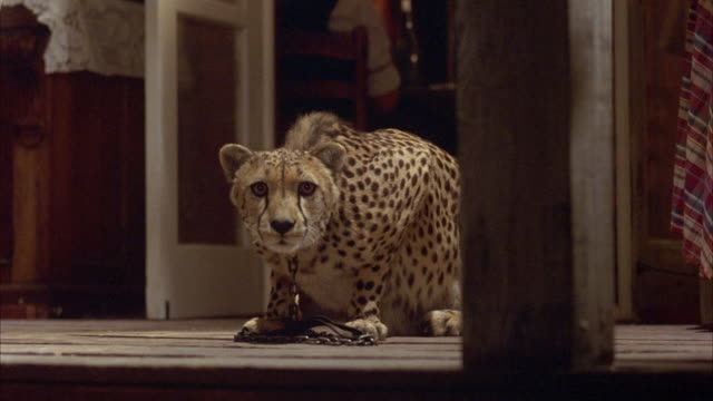 MEDIUM ANGLE OF  CHEETAH SITTING. CHEETA IS TIED WITH METAL COLLAR AND CHAIN. PET.