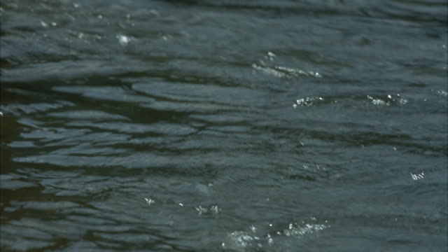 MEDIUM ANGLE OF STREAM OR RIVER, FISH COMES TO SURFACE THREE TIMES, THEN SUBMERGES AGAIN.